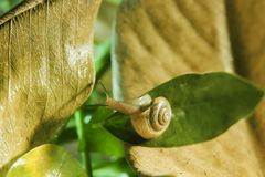 The snail is crawling on leaf. The snail is crawling on the leaf, beautiful tiny slug with blur background stock photos
