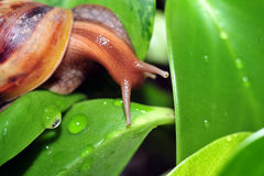 Snail crawling in the leaves Stock Image