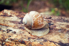 Snail crawling on log Royalty Free Stock Photo