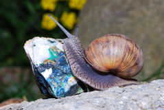 Snail crawling on minerals Stock Photo