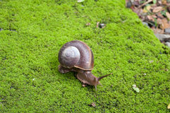 Snail crawling on Moss. Close up Snail crawling on Moss Royalty Free Stock Photography
