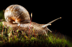 Snail crawling in moss Stock Photo