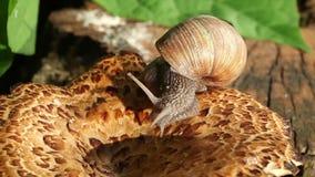 Snail Crawling On A Mushroom stock video