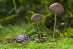 Snail crawling near mushrooms close up Royalty Free Stock Images