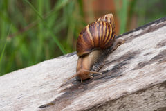 Snail. Crawling on an old wooden plate. Life of s are walking slowly in rainy season Royalty Free Stock Photography