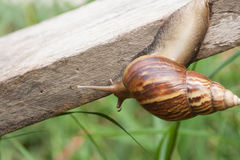 Snail. Crawling on an old wooden plate. Life of s are walking slowly in rainy season Stock Image