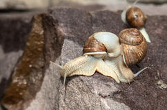 Snail crawling over each other Royalty Free Stock Photography