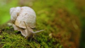 Snail crawling over moss in the forest. stock video footage