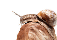 Snail crawling over rock Royalty Free Stock Images