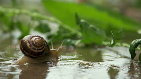Snail crawling on plant with rain and green background stock video
