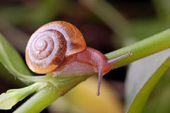 A snail. Crawling on plants Stock Photo