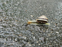 Snail crawling after rain Royalty Free Stock Image