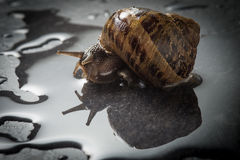 Snail that is crawling on a rock Royalty Free Stock Photography