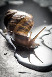 Snail that is crawling on a rock Royalty Free Stock Images