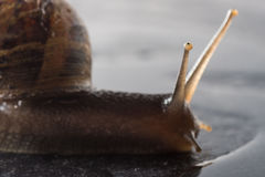 Snail that is crawling on a rock Royalty Free Stock Image
