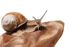 Snail crawling on rock Royalty Free Stock Images