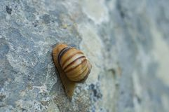 Snail crawling on rock. Natural background. Mollusks. Snail shell stock photography
