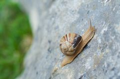 Snail crawling on rock. Natural background. Mollusks. Snail shell royalty free stock images