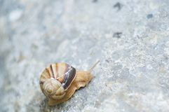 Snail crawling on rock. Natural background. Mollusks. Snail shell stock photo