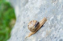 Snail crawling on rock. Natural background. Mollusks. Snail shell stock images