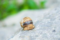 Snail crawling on rock. Natural background. Mollusks. Snail shell royalty free stock image