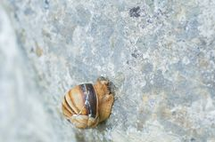 Snail crawling on rock. Natural background. Mollusks. Snail shell stock photos