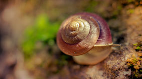 Snail crawling on the rock Royalty Free Stock Photography