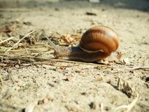 Snail crawling on sand Royalty Free Stock Photography