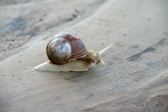 Snail crawling on the sand. Snail crawling on the grey sand stock photo