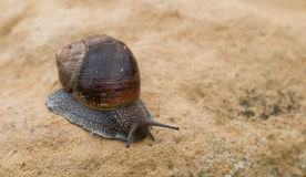 Snail crawling, slow motion Royalty Free Stock Images