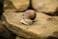 Snail crawling slow on rock Stock Image