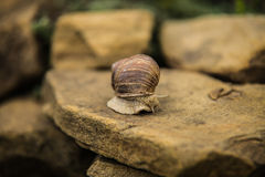 Snail crawling slow on rock Stock Photography