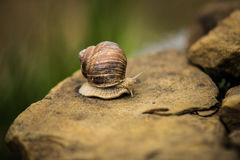 Snail crawling slow on rock Royalty Free Stock Image