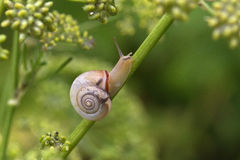 Snail. Crawling slowly on the plant royalty free stock image