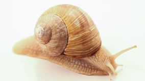 Snail, crawling slowly on white stock video footage