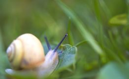 Snail crawling Royalty Free Stock Images