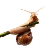Snail crawling on the stem Royalty Free Stock Image