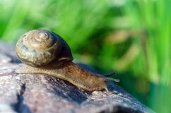 Snail. Crawling on the stone Stock Images