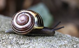 Snail crawling on the stone closeup Royalty Free Stock Image