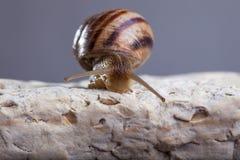 Snail crawling stone. Snail crawling vine tendrils tentacles stone escargot Stock Image