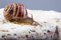 Snail crawling stone. Snail crawling vine tendrils tentacles stone escargot Stock Images
