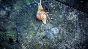 Snail crawling on a stump, nature time lapse stock video