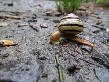 Snail crawling on a tree or bark. Warm sunny day after the rain the snail crawls on a tree or wet ground royalty free stock photography