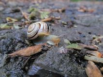 Snail crawling on a tree or bark. Warm sunny day after the rain the snail crawls on a tree or wet ground royalty free stock image