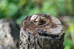 Snail crawling on a tree or bark. Warm sunny day after the rain the snail crawls on a tree or wet ground stock photos