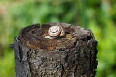 Snail crawling on a tree or bark. Warm sunny day after the rain the snail crawls on a tree or wet ground stock photo