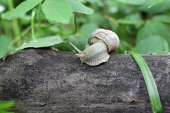 Snail crawling on a tree Royalty Free Stock Photo