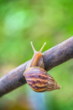 Snail crawling on a tree trying stock image