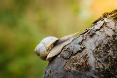 Snail crawling up the branch Royalty Free Stock Photography