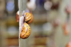 Snail crawling up on a farm in profile Stock Photos